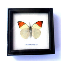 Real Butterfly  Framed Display Rare Insect frame Taxidermy THE GREAT ORANGE