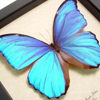 Valentine's Day Gift Morpho Didius Giant Blue Best Seller for 14 Years 416