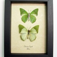 African Sage Green Leaf Butterflies Charaxes Eupale 384P