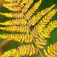 Yellow fern leaf photography instant download, fall home decore, nature photo, downloadable floral print