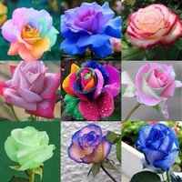 150 pcs/pack Rainbow Rose Flower Seed Holland Rose Seeds Lover Gift RARE exotic 25 Colors To Choose DIY  for home garden plants