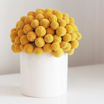 craspedia cluster in white by floresdelsol on Etsy