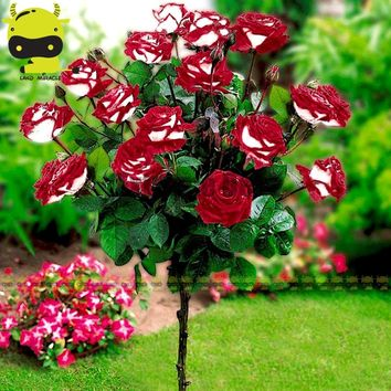 100% Genuine Osiria Rose Seeds, 50 Seeds, Bonsai Rose Tree Seeds Rare Garden Flowers Outdoor Plants