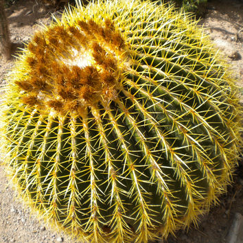 10 Golden Yellow Barrel Cactus Seeds, Echinocactus Grusonii, Mother in Laws Cushion Succulent Pot Plant Family Radiation Home Garden Decor