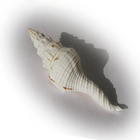 Lovely Decorative Spindle Sea Shell
