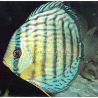 Royal Blue Discus, Wild, South American