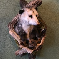 Taxidermy Opossum Shoulder Mount