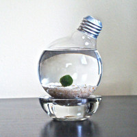 Marimo Moss Ball in a Repurposed Light Bulb / Lightbulb Aqua Terrarium