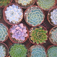 6  Large Succulent Plants Great For Bouquets by SucculentsGalore