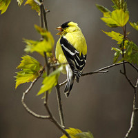 Goldfinch Suspended In Song