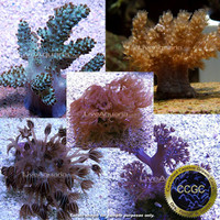 Saltwater Aquarium Corals for Marine Reef Aquariums: Drs. Foster & Smith Certified Soft Coral Frag 5 Pack - Aquacultured