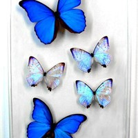 Blue Pearls II, Big blue morpho butterfly, framed art, pictures, display,