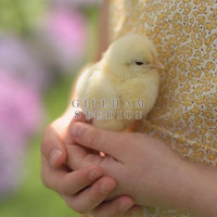 Close-up hands holding baby chick close by Gillham Studios