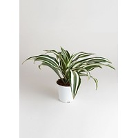 LIVE Dracaena Indoor House Plant - Ships Alone