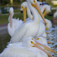 Pelican Party Photographic Print