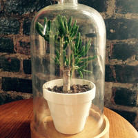 glass cloche with wooden base