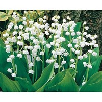 Shop 8-Count Lily of the Valley (L8114) at Lowe's