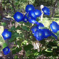 Heirloom 100 Seeds Large morning glory Ipomoea indica Cypress vine moonflower Flower Bulk seeds B1078