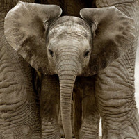 Baby Elephant Print by Andy Rouse at Art.com