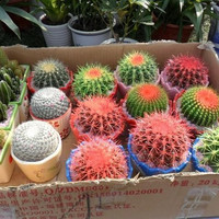 Celestial being seeds - cactus - potted plant seeds family anti-radiation 30 seeds pack