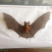 Spread Bat Specimen