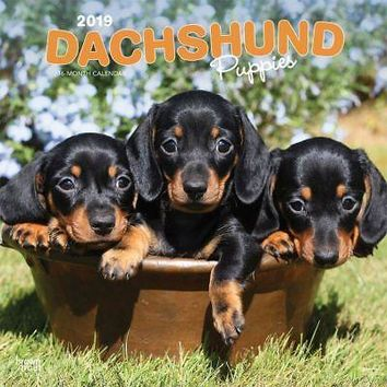 Dachshund Puppies (BROWNT Wall Calendar, Dachshund by BrownTrout