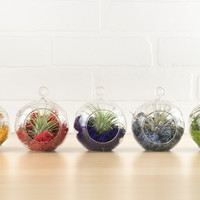 Color Wheel Glass Terrarium Air Plant Minis, Set of Five