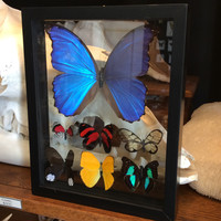 "Double Glass Mounted Butterfly Collection 7.5"" x 8.5"""