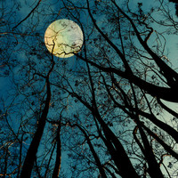 The Moon was Ours for a Season Stretched Canvas by V. Sanderson / Chickens In The Trees