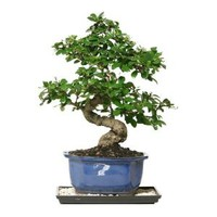 Brussel's Bonsai Fukien Tea Bonsai CT-0116FT at The Home Depot - Mobile