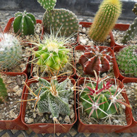 6 Cactus Plants, A Nice Assortment, Perfect For A Margarita Party, Wedding Favors And More