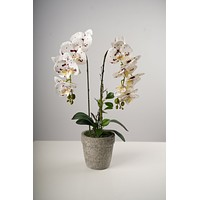 """23"""" LG Single Dots Beauty Orchid on Cement Pot-Belleza Collection"""