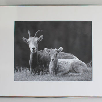 Large Vintage Framed and Matted Photograph of Mountain Goats, Photographer Bud Turner