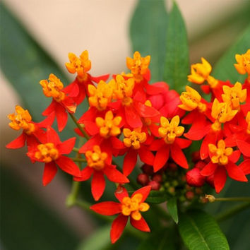 Tropical Milkweed Flower Seeds (Asclepias Curassavica) 100+Seeds