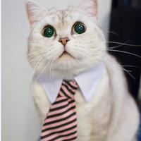 CEO Cat Collar And Tie, Truly Chairman Of The Board