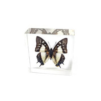 Common Nawab Butterfly Paperweight