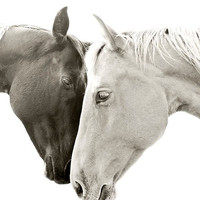 Large Horse Photograph, size 30x24, Black and White Horse Photography, Large Photography