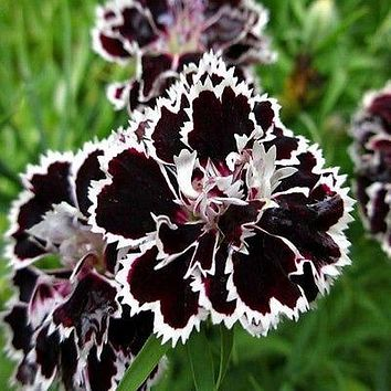 Dianthus Japanese Pinks Flower Seeds (Dianthus Heddewigii) 30+Seeds