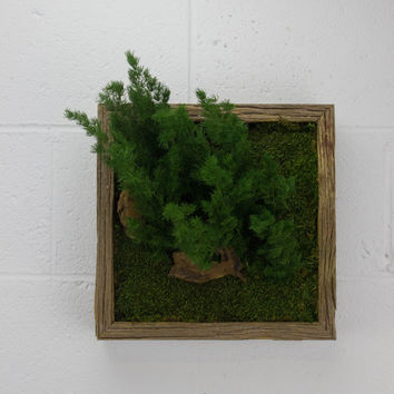 "Nature Rising - Water free green wall art, moss and preserved plants - Vertical garden, green wall decor - 12""x 12"" Rustic Frame"