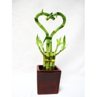 9GreenBox - Lucky Bamboo - Heart Style with Ceramic Vase
