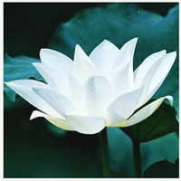 Bowl Lotus Flower Seeds Water Lily Plants Aquatic Plants - 10 pcs Seeds