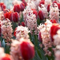 Martha Stewart Living, Hyacinth China Pink & Tulip Couleur Cardinal Dormant Bulbs (48-Pack), 70368 at The Home Depot - Mobile