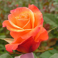 7 Orange rose flower seeds