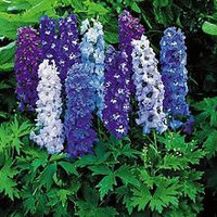 Delphinium Magic Fountains, Dwarf Mix Flowers, Perennial Seeds, Attracts Hummingbirds