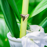 Shark Tooth Ring - Gold