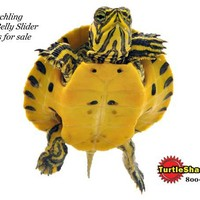 Hatchling Yellow Belly Turtles for sale : Turtles for sale and Turtle Products at the Turtle Shack,  | Turtle Shack Live Turtles