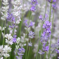 Lavender Blooms in White and Lavender closeup 8x10 fine art photograph