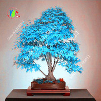 20 pcs china maple tree  Bonsai tree seeds. rare sky blue maple seed. Balcony plants
