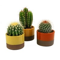 3.5 in. W x 3.5 in. D x 5 in. H Altman Plants Horizon Cactus Plant Assorted (3-Pack), 0881009 at The Home Depot - Tablet