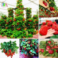 Panago 600 PCS Red Giant Climbing Strawberry Seeds